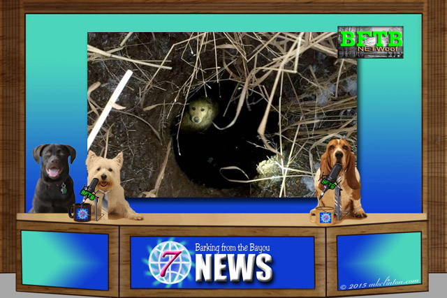 BFTB NETWoof Dog News anchor desk with dog in sinkhole on green screen