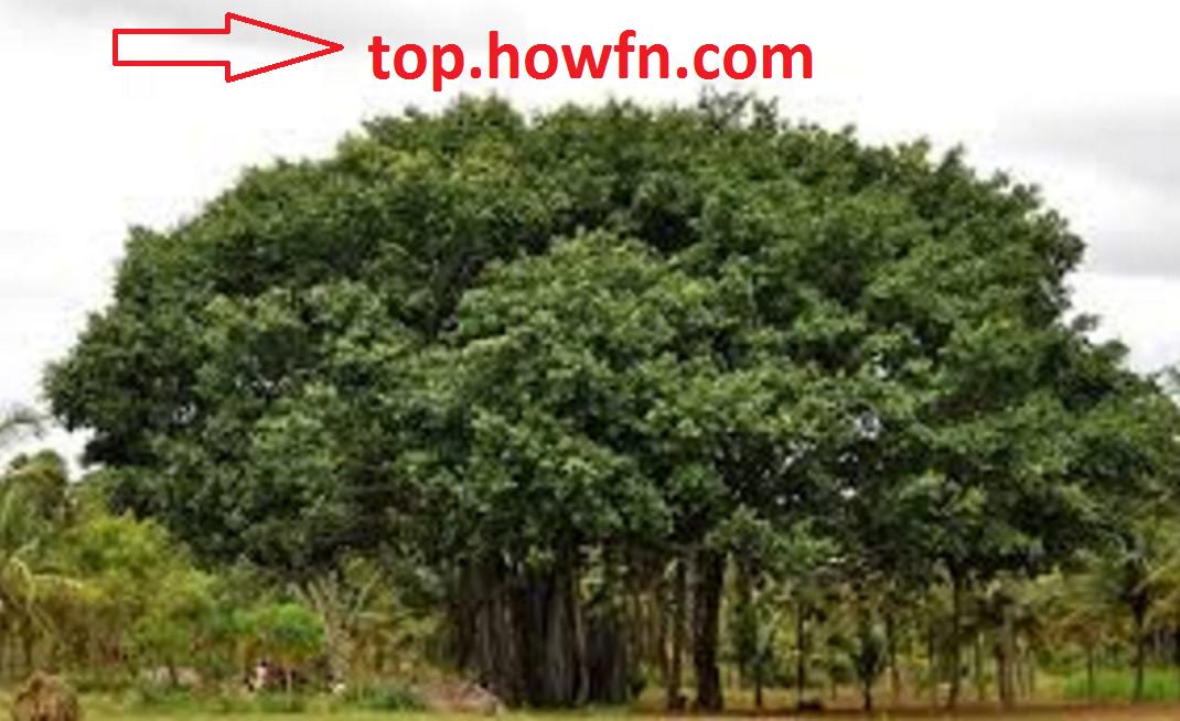 वट वृक्ष या बरगद के फायदे banyan tree in hindi meaning ...