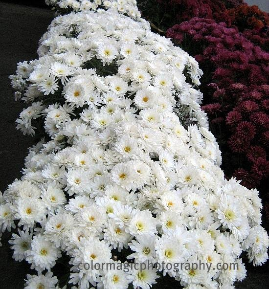 White-purple chrysanthemums