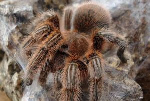 biggest spiders, biggest spiders in world, biggest spiders in the world, giant spiders from australia, biggest australian spider, biggest spiders in australia, giant spiders movie, giant spiders halloween, biggest michigan spiders,