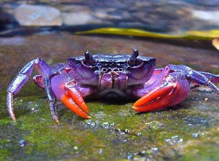 http://www.allfiveoceans.com/2016/11/newly-discovered-purple-crab.html