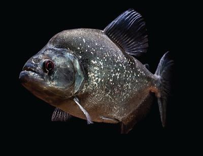 Ikan Piranha genus Serrasalmus