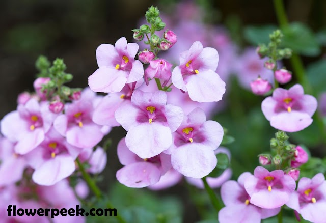 How to grow and care for Twinspur Flowers