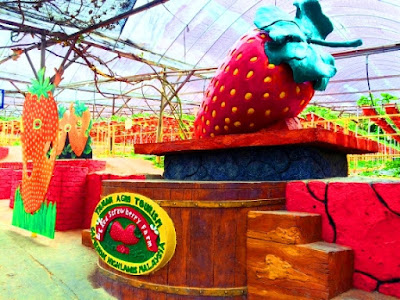 Big Red Strawberry Farm Ladang strawberry cameron higland brinchang
