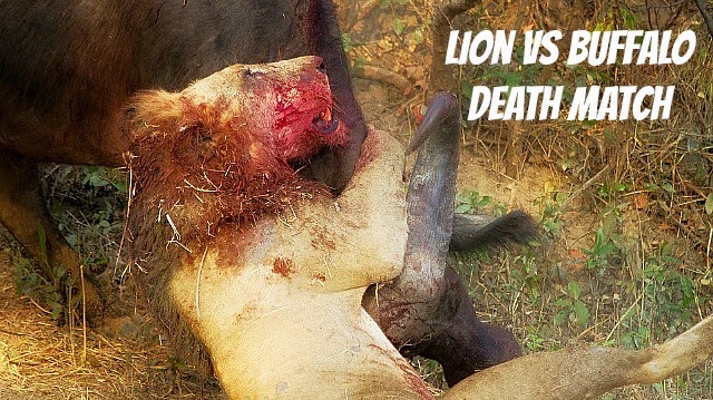 Watch lion and Buffalo endure their battle till Death via geniushowto.blogspot.com lion vs buffalo incredible animal safari encounter photos and videos