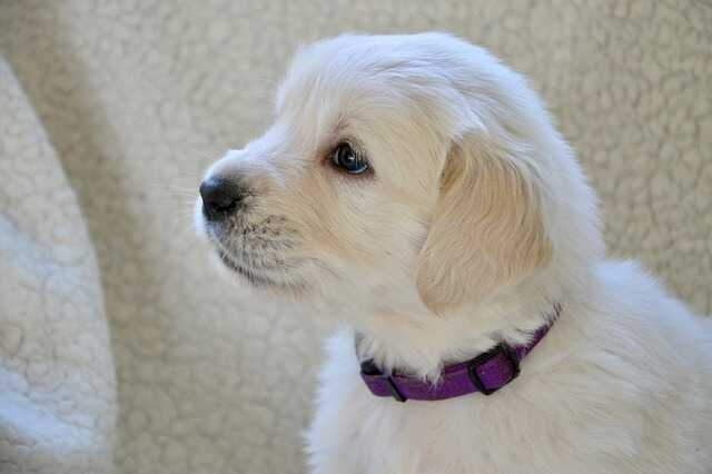 Cute White Puppy Images HD