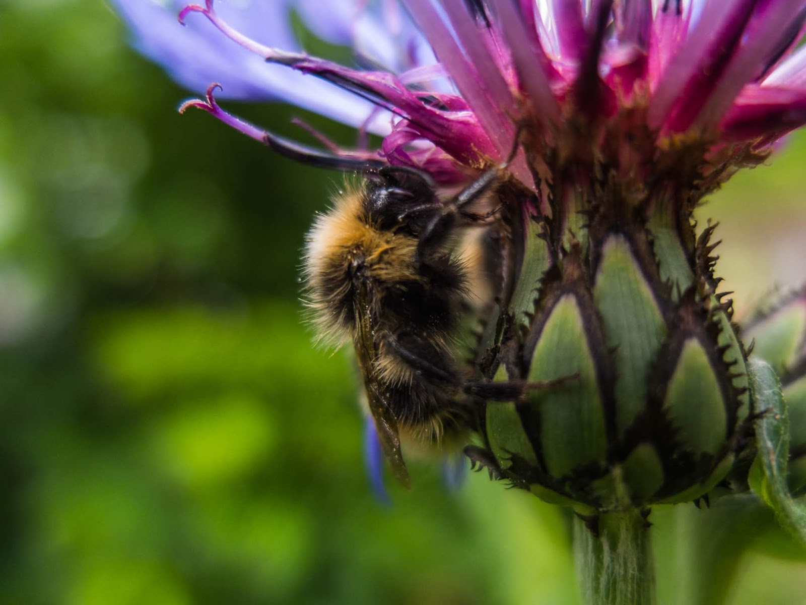 A bumble bee seeking shelter from the rain on a Cornflower.