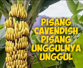 bibit-pisang-cavendish-asli.jpg
