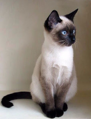Traditional Siamese Cat breed Singapore