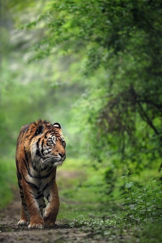 Natural Green Photo Editing Background with Tiger | Tiger Photo Editing Background