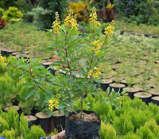 pohon hujan mas bunga kuning