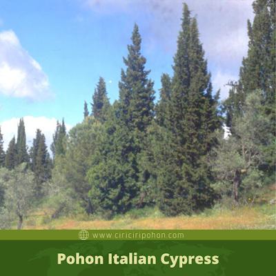 Ciri Ciri Pohon Italian Cypress