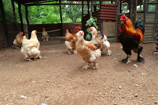 flock of hens and one rooster