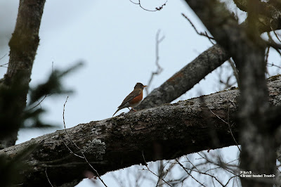 アカハラ ≪Brown-headed Thrush≫