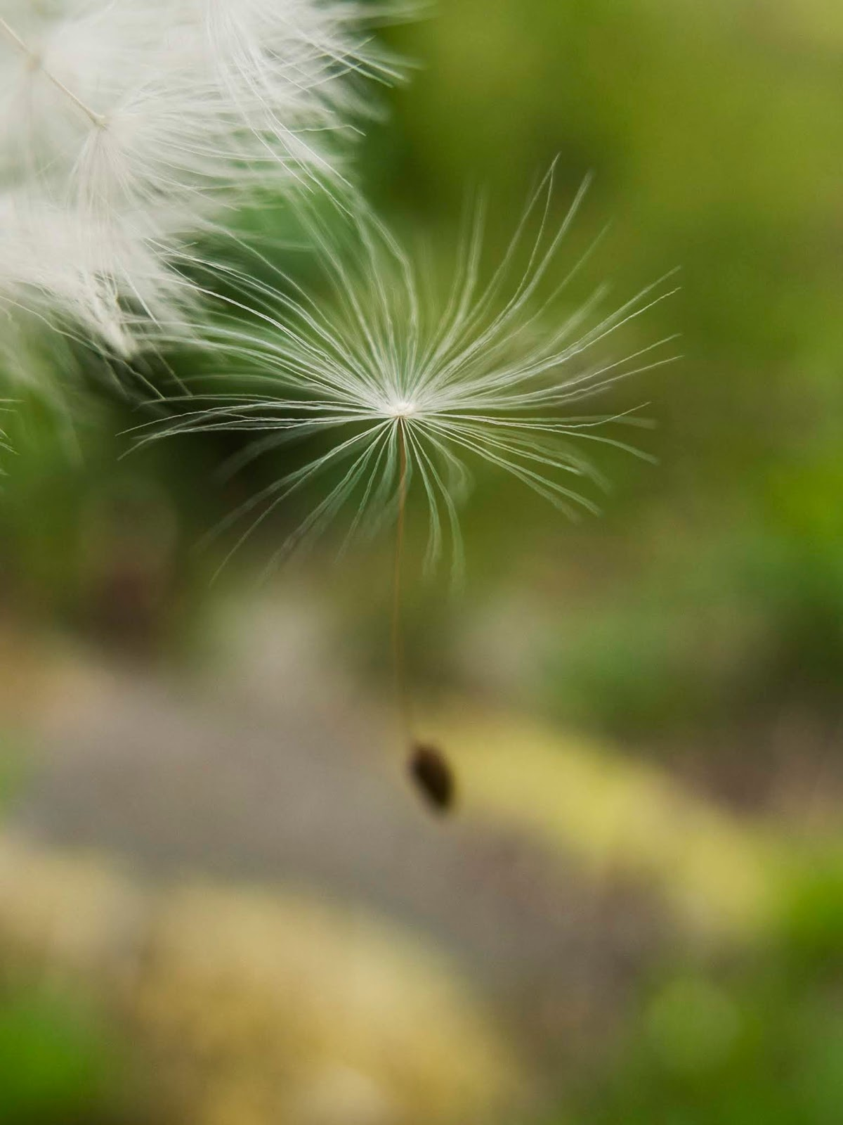 A macro of a dandelion seed hanging on to the head by its bristles.
