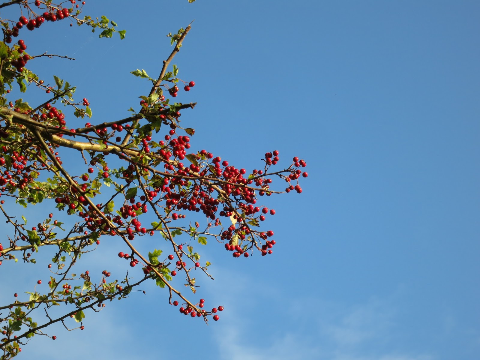 Red hawthorn berries and leaves against blue sky