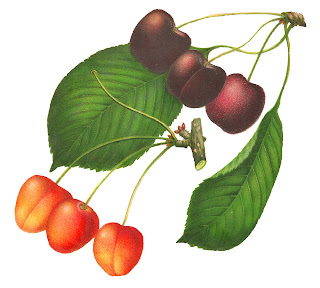cherry fruit art digital download botanical image