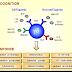 Antigen Recognition by γδ T‐cells