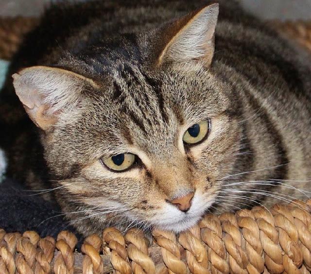 Gambar kucing kampung lucu