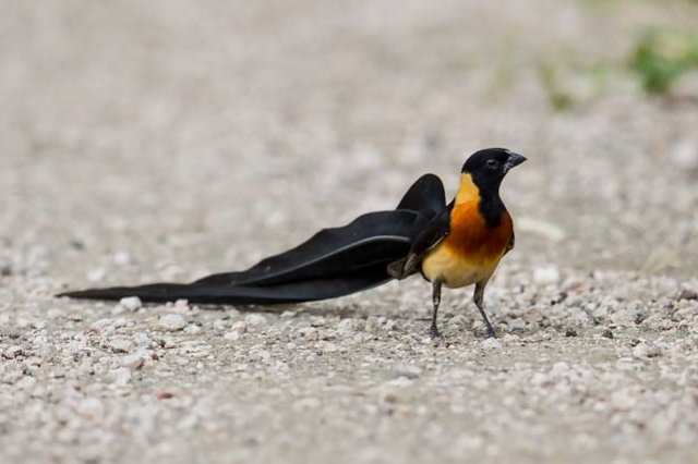 A male paradise whydah that wears a skirt with a bustle.