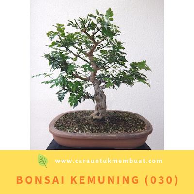 Bonsai Kemuning (030)