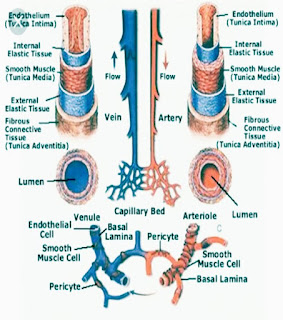 Structure of arteries and veins