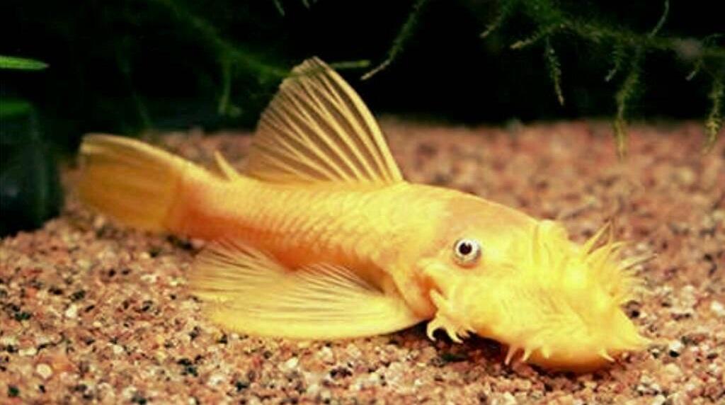 Ikan Brushmouth Pleco - 13 Ikan Hias Pemakan Lumut Aquarium