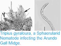 https://sciencythoughts.blogspot.com/2015/04/tripius-gyraloura-sphaerularid-nematode.html
