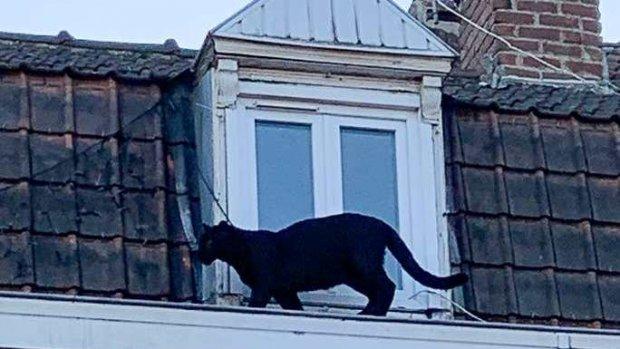 Черна пантера се разходи по покриви на къщи и предизвика паника