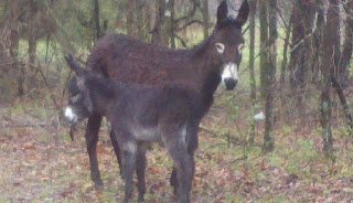 homesteading, our homestead, american mammoth donkey, big donkey, boer goat, nanny goat, pygmy goat, raising farm animals
