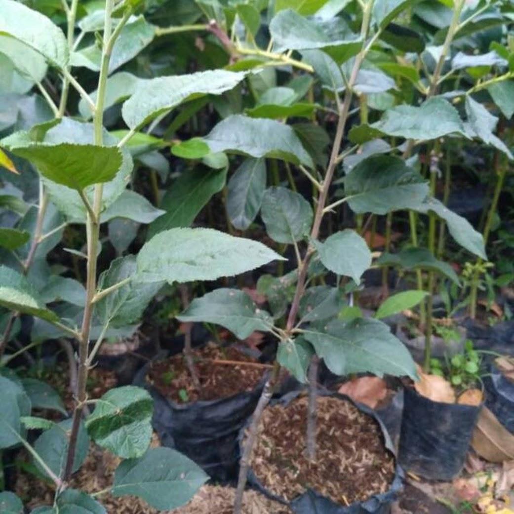 Bibit buah apel cangkok Palembang
