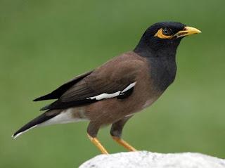 Cara Merawat dan Makanan Burung Jalak Nias