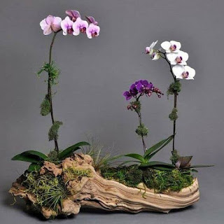 contoh tanaman anggrek