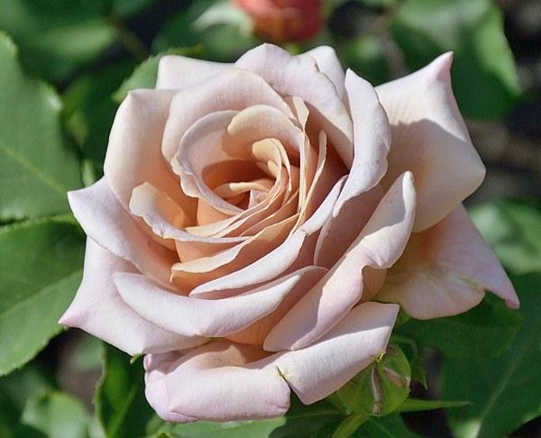 Koko Loko сорт розы фото