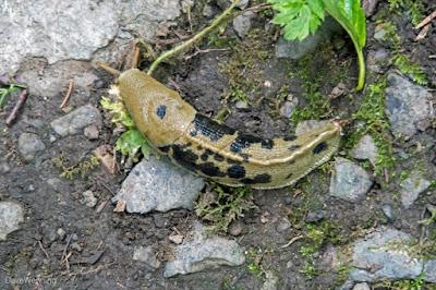 Banana Slug, one of the good guys  (don't kill them)