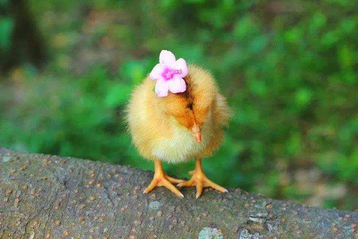 bayi ayam lucu sekali