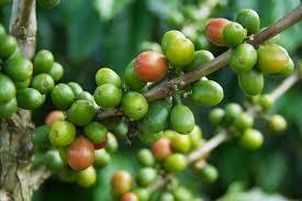 Luxury Resorts in Kerala - Coffee Plantation