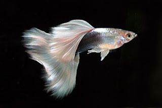 أسماك الطاووس الصينية الرائعة الجمال سبحــــــان الله image0033-725083.jpg
