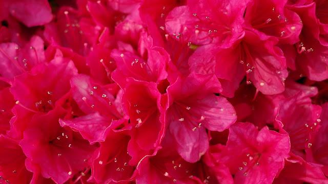 雨上がりの赤いツツジ