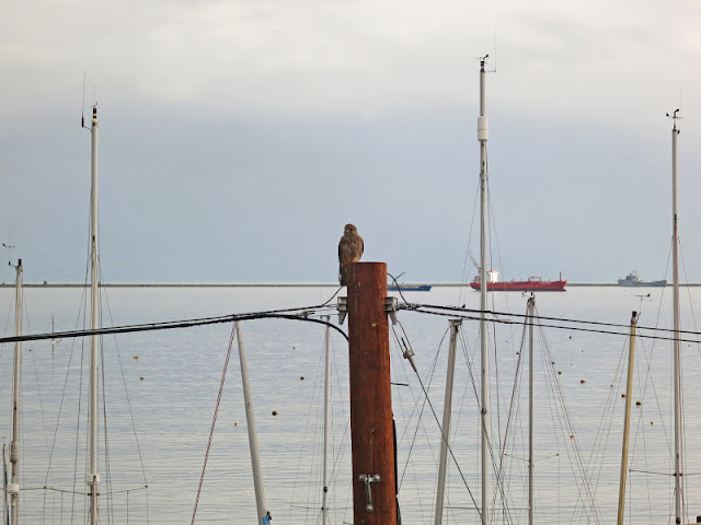 Kestrel on a pole by Portland Harbour in Dorset with sea and boats