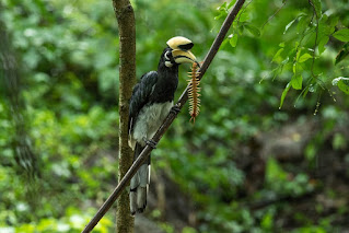 A male Oriental Pied Hornbill sitting on a branch with a centipede in its mouth.