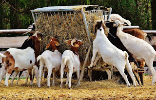 https://www.goatfarming.ooo/2018/07/how-start-goat-farming-business-hindi.html