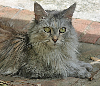 Maine Coon July 2011
