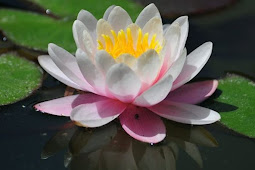 Mengetahui Khasiat dan Manfaat Bunga Teratai