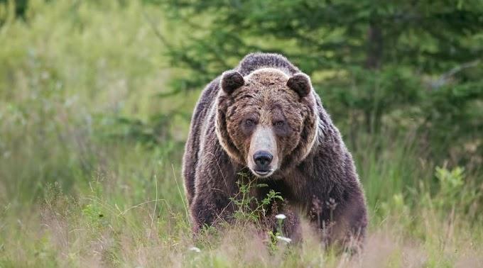 Emberre támadt egy medve Székelypálfalván, helikopter vitte kórházba