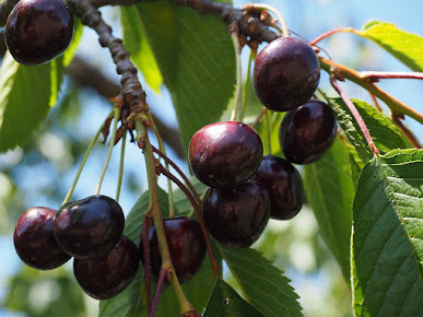 Gambar buah ceri hitam