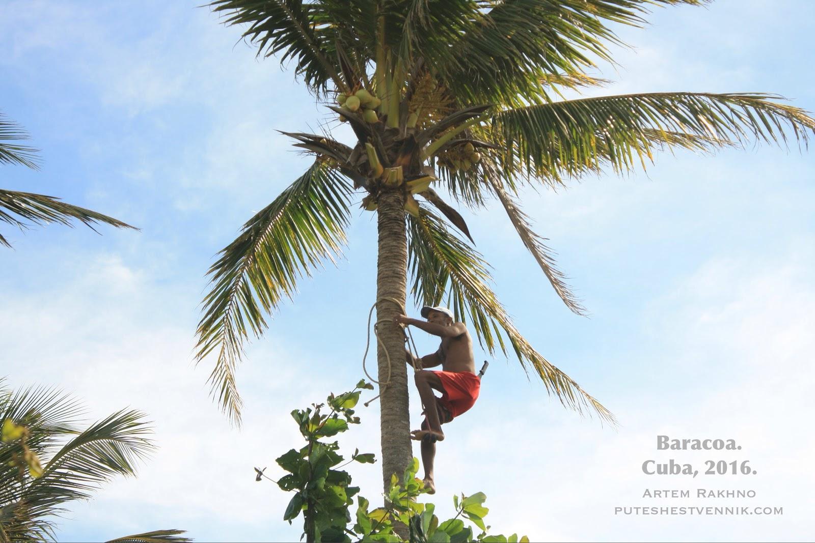 Кубинец взбирается на пальму