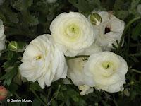 Double white flowers, flower show - Kyoto Botanical Gardens, Japan