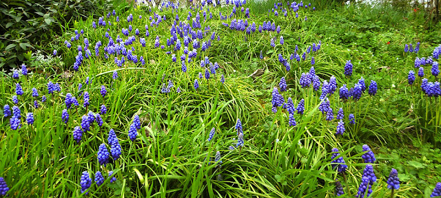 Garden Grape Hyacinth Muscari armeniacum. March.  Indre et Loire, France. Photographed by Susan Walter. Tour the Loire Valley with a classic car and a private guide.