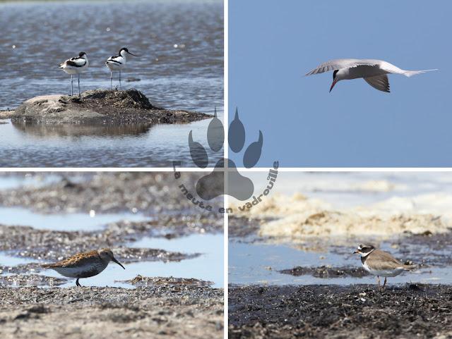 Suede-ile-Oland-reserve-naturelle-eckelsudde-oiseaux